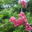 またまた咲きました。 ツルバラのアンジェラ