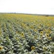 100万本のひまわり畑