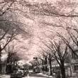 桜マンデリン