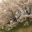 4/4  宮城の新職場で歓迎会 大河原一目千本桜にて