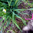 スイセン咲いた。