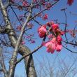 さくら公園の桜咲きだす