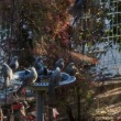 野鳥 ヒヨドリとツグミ