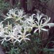 マンションの花たち~白ヒガンバナ