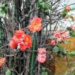 ボケ 木瓜 八重咲き