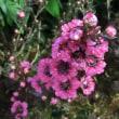 ギョリョウバイの花は