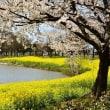 越後の菜の花と桜の2重奏と赤のガーベラ