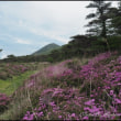 えびの高原のミヤマキリシマ