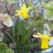 今年も水仙の花が・・・年々歳々花相似たり