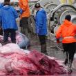 アイスランド(Iceland):  11 pregnant whales