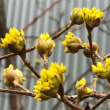 【オシドリ、芽吹き 格別の春もうすぐ開花】