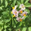 ジャガイモの  花可愛らし  歩が緩む