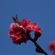 川辺の桃の花