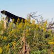 原野ではセイタカアワダチソウがオオブタクサを駆逐していました
