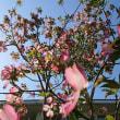 花水木満開