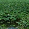 手賀沼の蓮ー真夏の白日夢のよう。