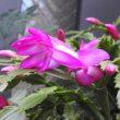 カニサボテンの花と12月のバラ