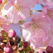 河津桜。。。
