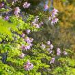 皇帝ダリア&ひまわり:半田山植物園