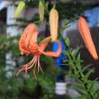 【京都園芸倶楽部Facebook】先週の植物(2018年7月8日〜14日)