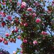 冬桜を愛でに