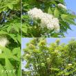 ナナカマドの花は