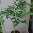 鉢の木に咲くお花ニシキギ他