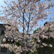 地元の桜並木