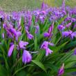 5月11日 (金曜日)「紫蘭」(てまりさん)