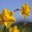 黄色のスイセンが堤防の周りにたくさん咲いています。 (Photo No.14242)