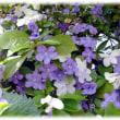 初夏に花開く(^^♪「蕃」は外国、「茉莉(マーリー)華」は中国語で、ジャスミン 「蕃茉莉 (ばんまつり)」