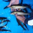 8月17日(金曜) 秋川 館谷売店前の鮎釣り 鮎の釣果
