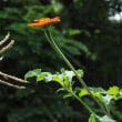 短くなった日、そして虫の音・・メキシコヒマワリ(チトニア)