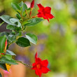 我が家の花 ・・・ サンパラソル