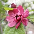 「おはようの花」 クロロウバイ 5月