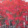 灯台躑躅(どうだんつつじ)の紅葉