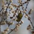 梅の花にメジロが・・・