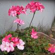 トキワコザクラという花