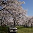 大石寺の桜は満開