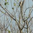 遠くの木に、コチョウゲンボウを見つけた。