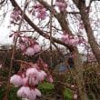 枝垂れ桜も咲き始めた。