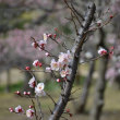小石川後楽園ー梅の花Part2