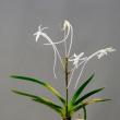 富貴蘭 大河の花