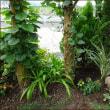 匍匐性ローズマリーとカシワバゴムの木