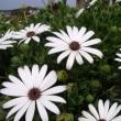 「おはようの花」 オステオスペルマム 3月