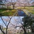 明石公園の桜 1