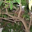 庭でキジバトの巣を見つけました