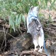 湿地帯・キジバトを追いかけたけど・・