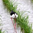 5/23探鳥記録写真(某地のセイタカシギ、アマサギ、チュウサギ、チュウダイサギほか)