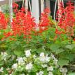 秋の庭・・・サルビアの花が咲いています・・・ウラギンシジミが飛んできました